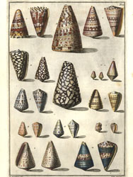 Conchology Plate 22. Shells