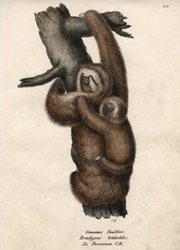 Brodtmann Pale-headed Sloth