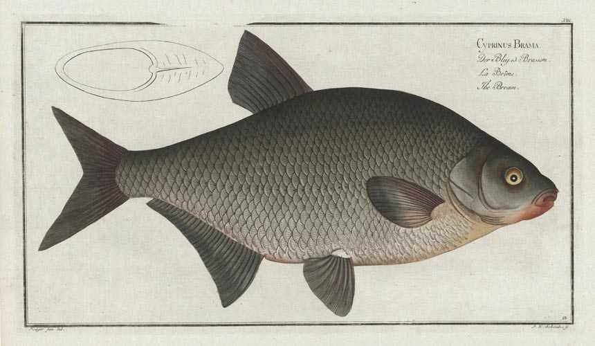 Bream. Cyprinus Brama. Rare Bloch fish antique print, c1790