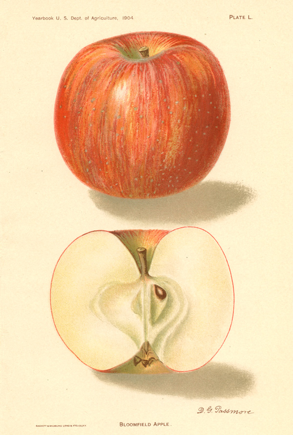 Bloomfield Apple with half. DG Passmore lithograph c1900.