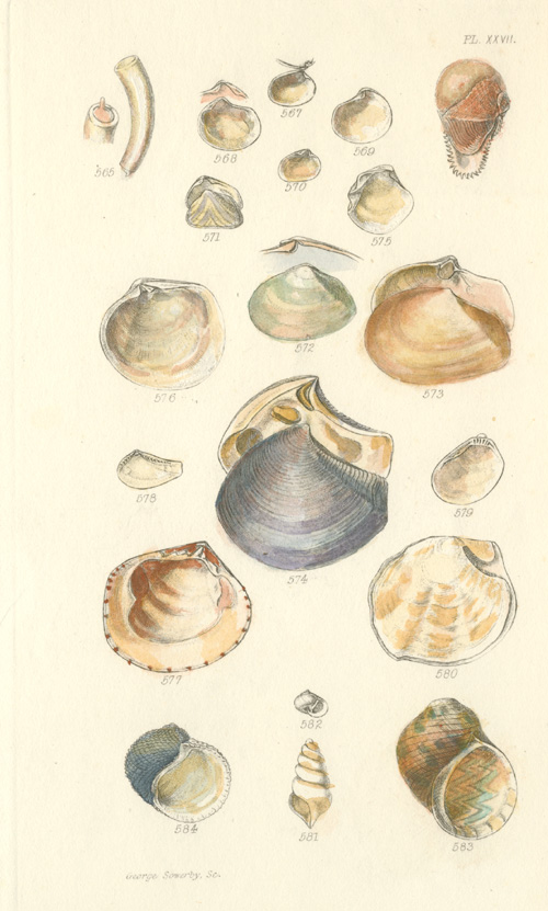 Delicate hand-coloured engraving of Shells by George Sowerby c1825.