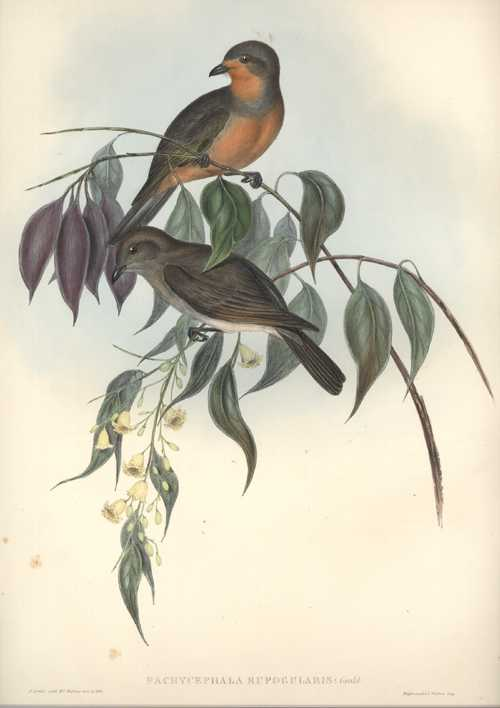 Australian Red-Throated Pachycephala. Pachycephala Rufogularis Original John Gould lithograph c1848.
