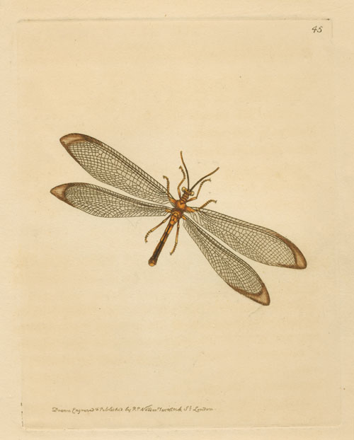 Australian Nymphes Myrmeleonoides, Lacewing. Nodder c1814