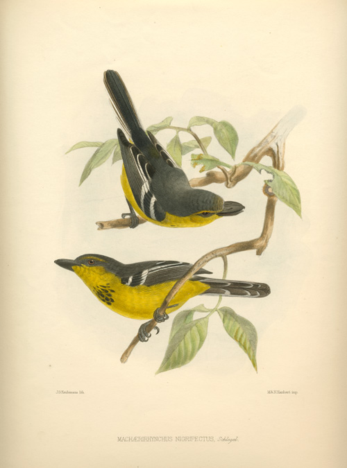 Keulemans Machaerirhynchus Nigripectus, Schlegel. Black-headed Boat-bill Bird Lithograph c1878.