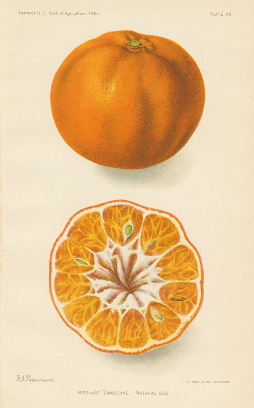 Weshart Tangerine antique print. Lithograph by D.G. Passmore c1904