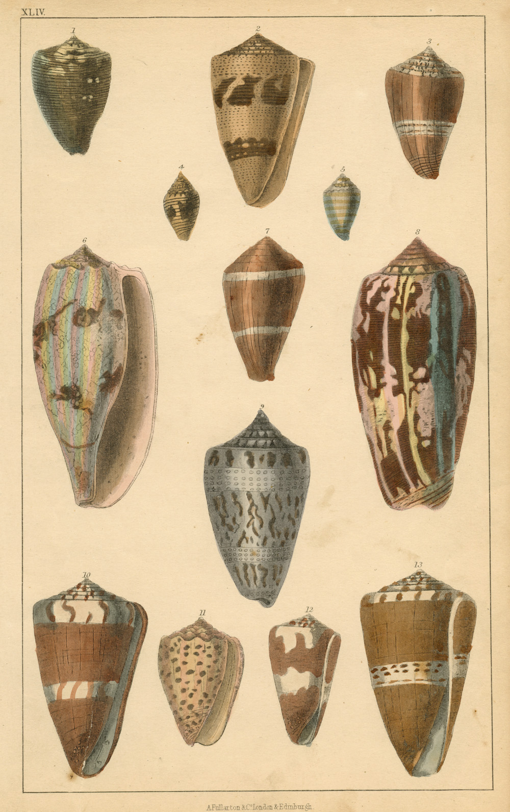 Pretty little hand-coloured Seashells engraving for Goldsmith's Animated Nature. c1852.