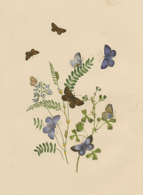 Pretty blue Butterflies. Humphreys hand-coloured engraving c1849