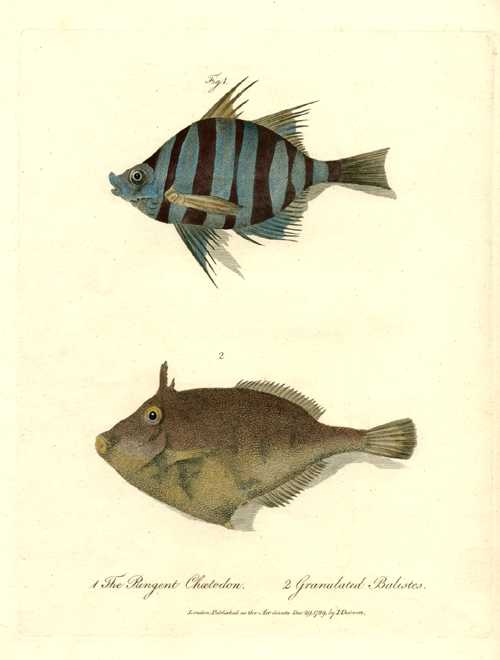 Fish: Pungent Chaetedon. Granulated Balistes. Australian fish engraving c1790