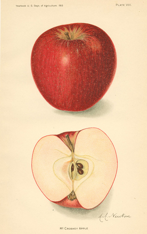 McCroskey Apple and half. Lithograph by A.A. Newton c1913.