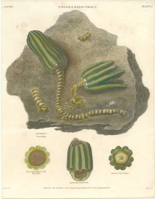 Fossils. Encrinus (Stone Lily). Extinct genus of Crinoids. Engraving c1814.
