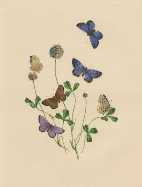 Pretty little blue butterflies. Humphreys hand-coloured engraving c1849.