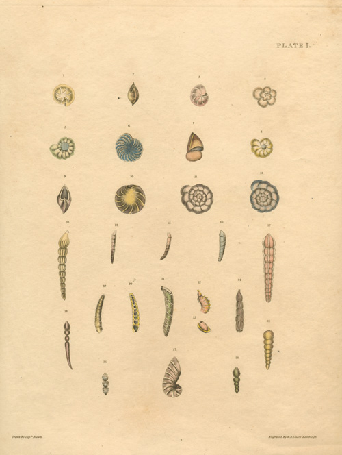 Finely engraved Mollusc shells by Captain Brown c1845.