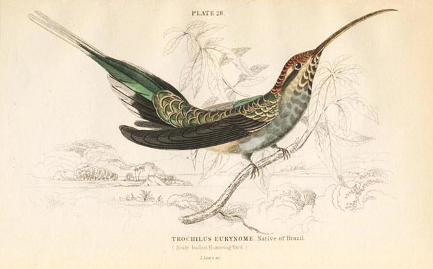 Jardine Hummingbird. Trochilus Eurynome, Scaly-Backed Humming-Bird engraving. Lizars c1833