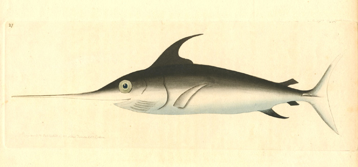 R.P. Nodder Swordfish engraving for George Shaw, c1800.