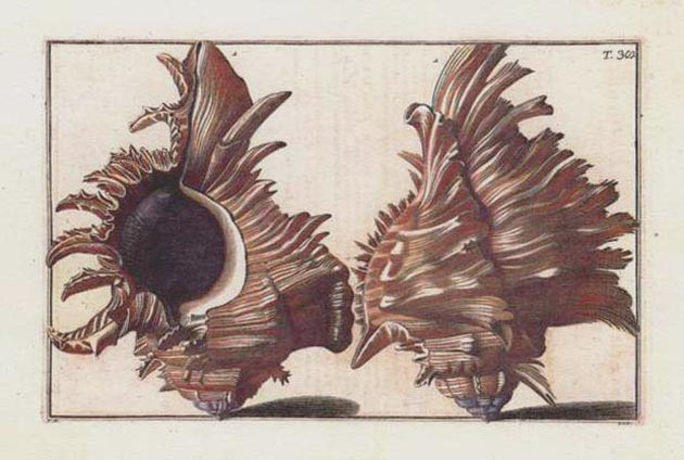 Grand hand-colored engraving of Murex Shells. Gualtieri Plate 38, c1742