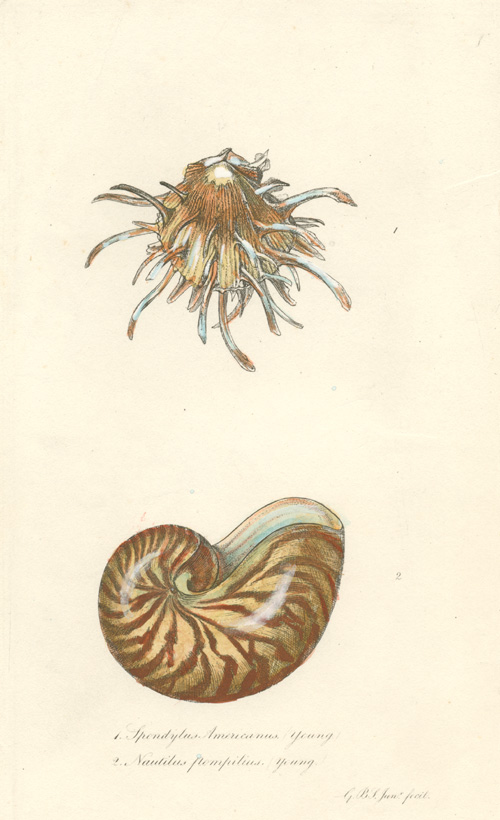 Spondylus Americanus and Nautilus Pompilius. Beautiful Sowerby engraving c1854
