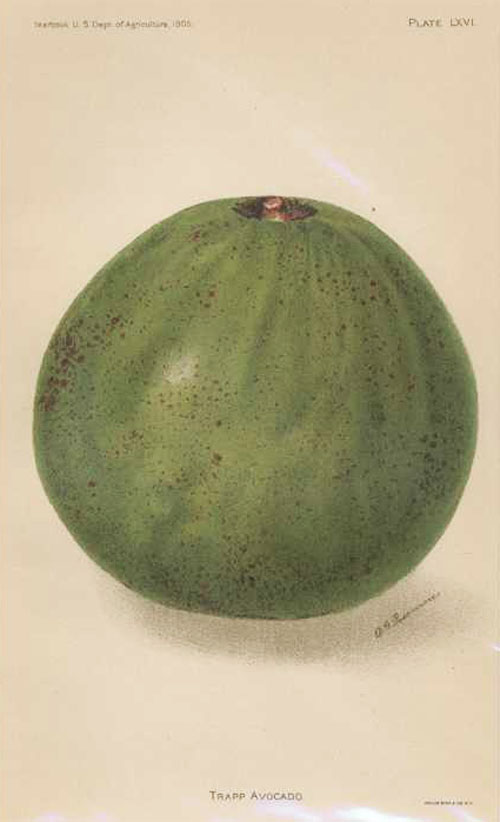 Fruit. Trapp Avocado lithograph by D.G. Passmore, c1905