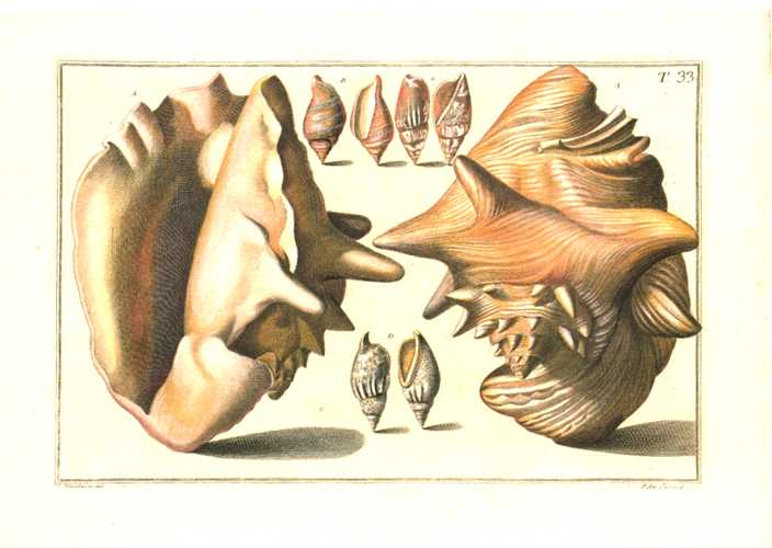 Gualtieri Shells Plate 33, small Conchology print