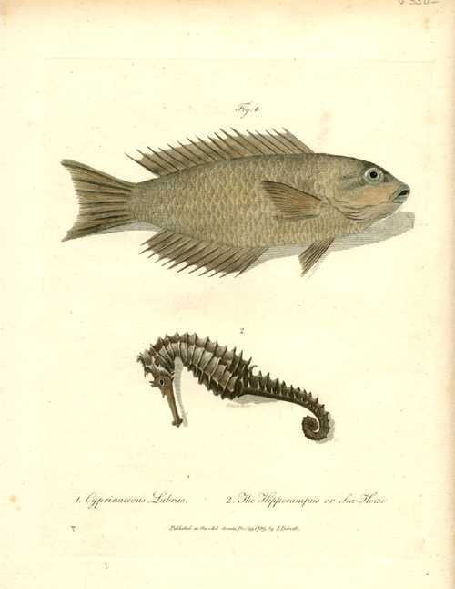 Australian Fish, Cyprinaceous labrus & Hippocampus Sea Horse. White c1790