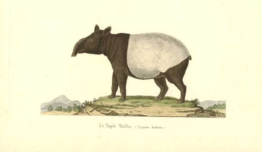 Le Tapir Maiba (Tapirus Indicus) antique engraving c1840