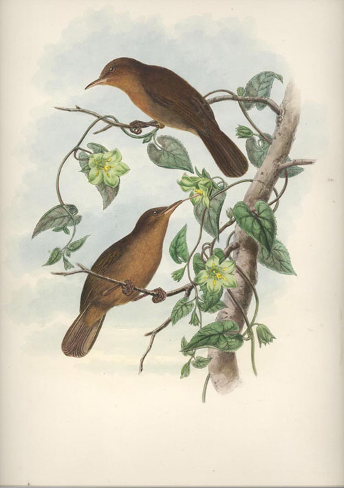 John Gould Honeyeaters, Euthyrhynchus flavigula, Yellow-tinted Brown Honey-eaters lithograph c1880.