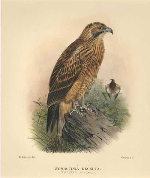 Australian Northern Buzzard, Gypoictinia decepta Matthews hand-coloured lithograph c1910
