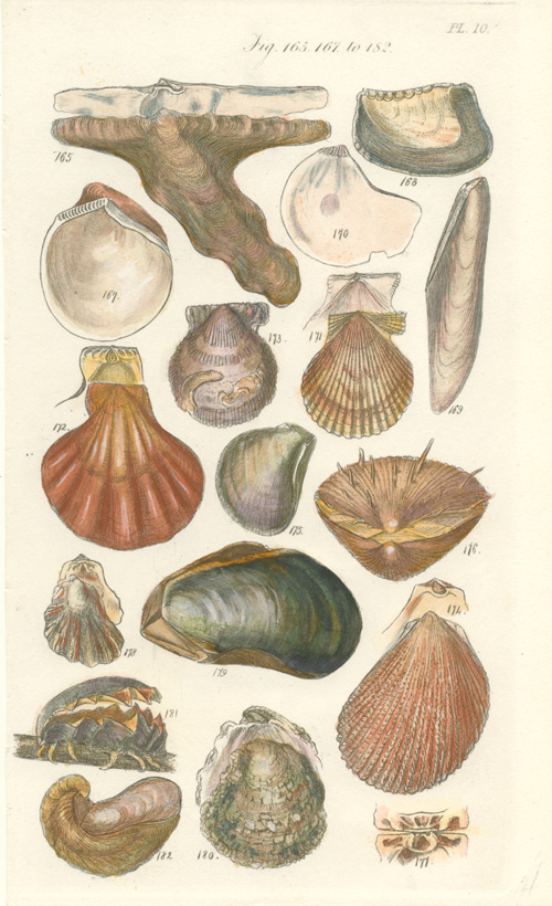 Small antique print of shells. Engraving by Sowerby c1822.