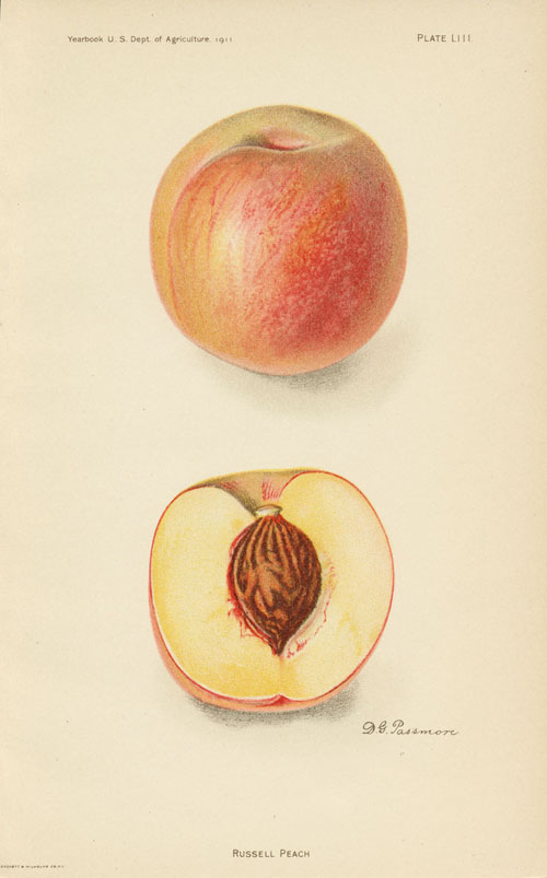 Fruit antique print. Russell Peach by D.G. Passmore c1911