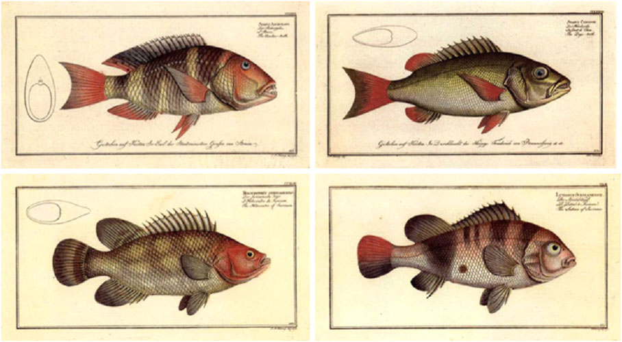 50%-off 4 x small colourful fish. Heritage Editions prints