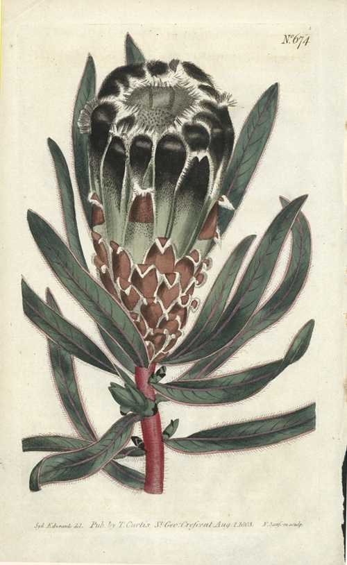 Black-flowered Protea lepidocarpon by Sydenham Edwards botanical engraving c1803