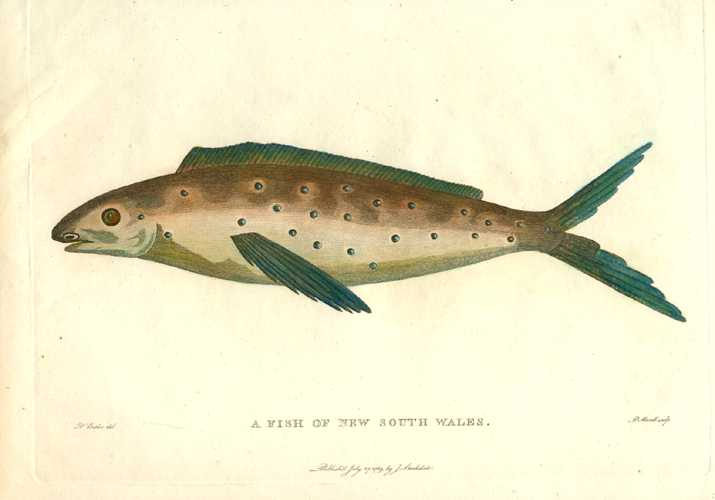 Australian Fish of New South Wales. Phillip's Voyage c1790