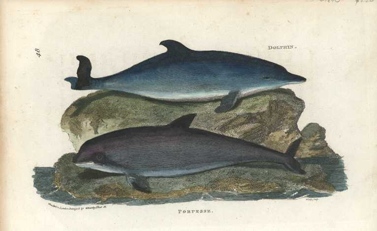 Mammals. Dolphin & Porpoise. George Shaw antique print c1800