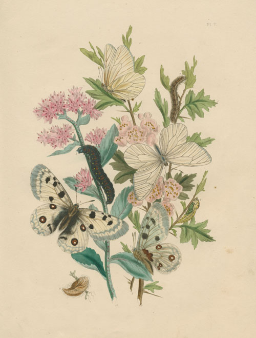 British Butterflies and their Transformations engraving by Humphreys c1849.