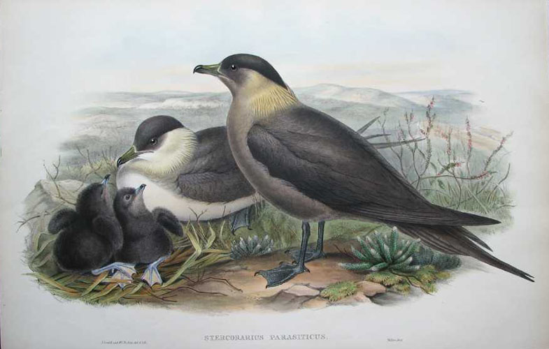 John Gould Stercorarius Parasiticus, Gould Arctic Skuas with chics. Lithograph c1863-73