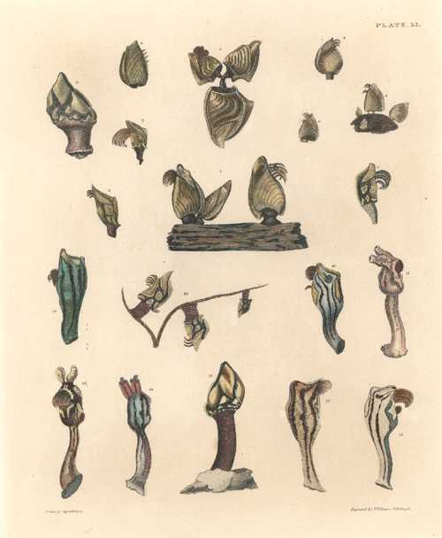 Shells. Barnacles W.H. Lizars engraving after Captn Brown c1845