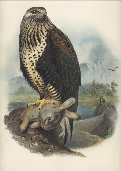 Gould Birds of Great Britain, Rough-Legged Buzzard, Archibuteo Lagopus, c1862