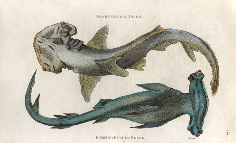 Shark: Heart-headed Shark, Hammer-Head Shark. George Shaw engraving c1800