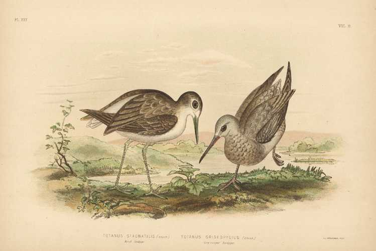 Broinowski bird lithograph of Australian Sandpipers Antique Print c1890
