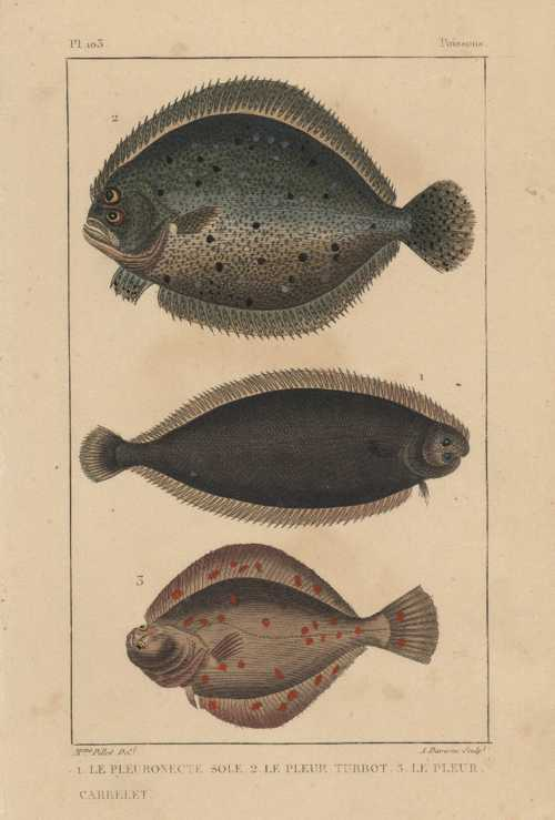 Fish. Sole, Place, Turbot antique print. Lacepede c1830