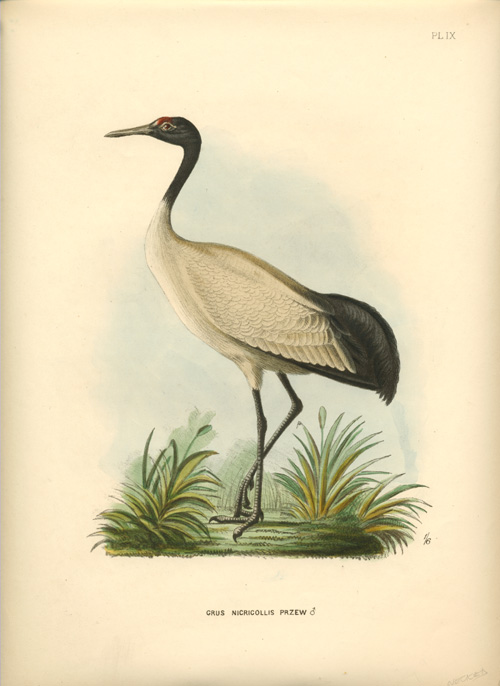 Grus Nigricollis. Black-necked Crane. Beautiful lithograph. G.D. Rowley c1877.