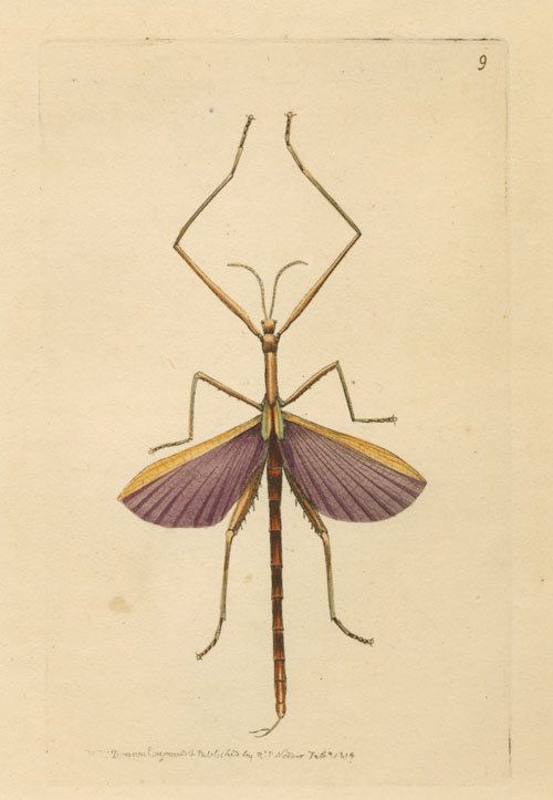 Australian Phasma. Violet-winged Stick Insect. Nodder engraving c1814