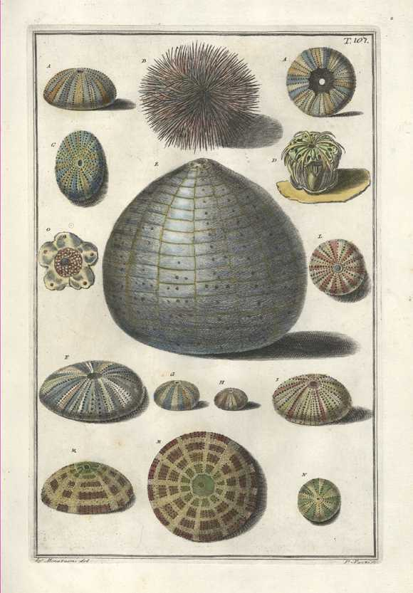 Sponges, Coral and Starfish. Superb Gualtieri Conchology engraving 107, c1742.