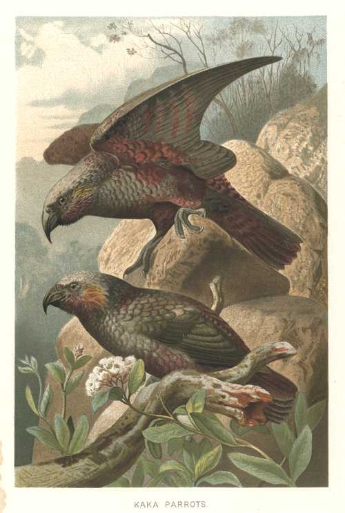 NZ. Kaka Parrots of New Zealand chromolithograph. Lydekker c1896