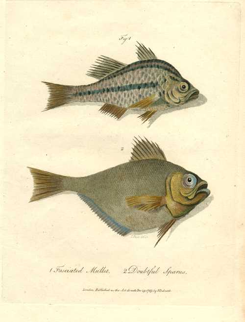 Australian Fasciated Mullet antique print. John White's Journal c1790