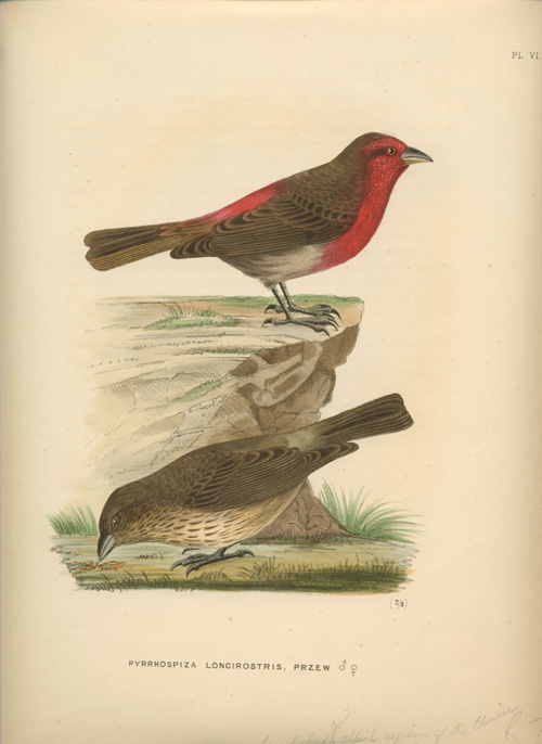 Pyrrhospiza longirostris. Rowley's Ornithological Miscellany lithograph c1877