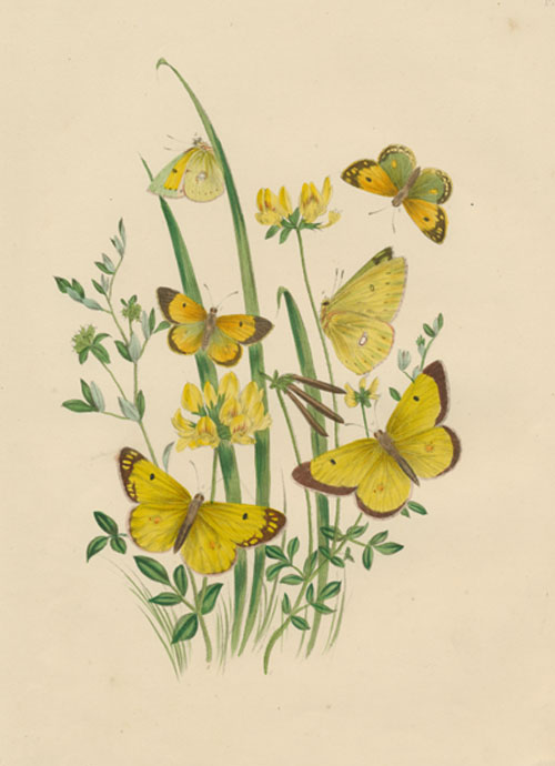 Life-cycle of Butterflies with Caterpillar, Chrysalis & Host Plants. c1849