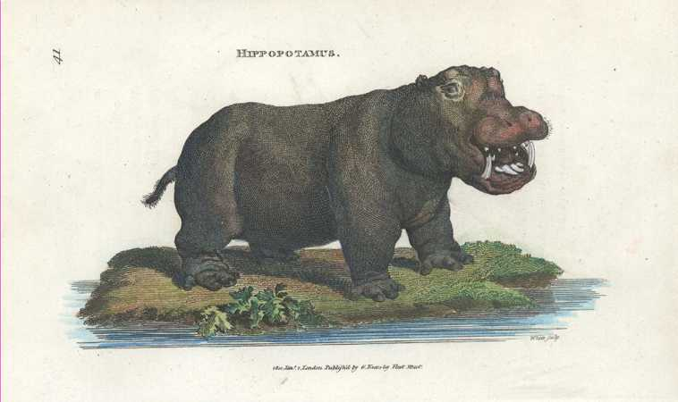 George Shaw Hippopotamus Antique Print by George Kearsley c1801.