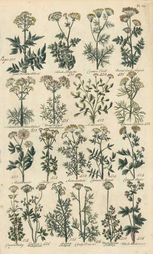British Herbal Plate 60. John Hill circa 1756