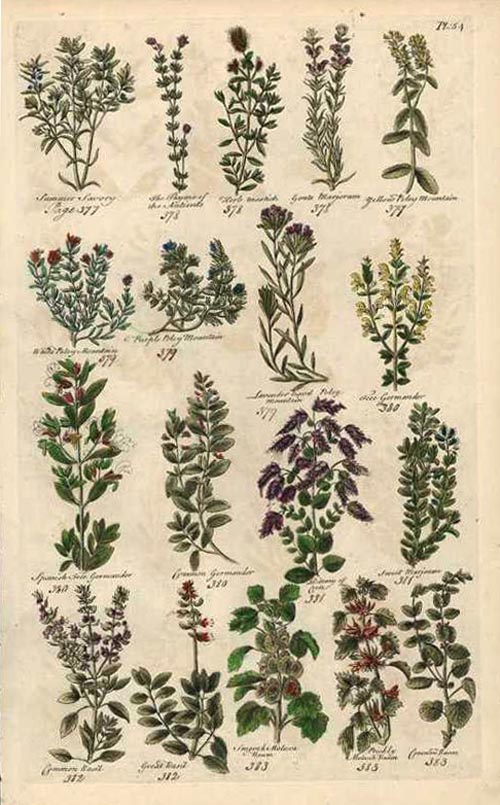 Flowering Herbs. John Hill herbal engraving c1756.