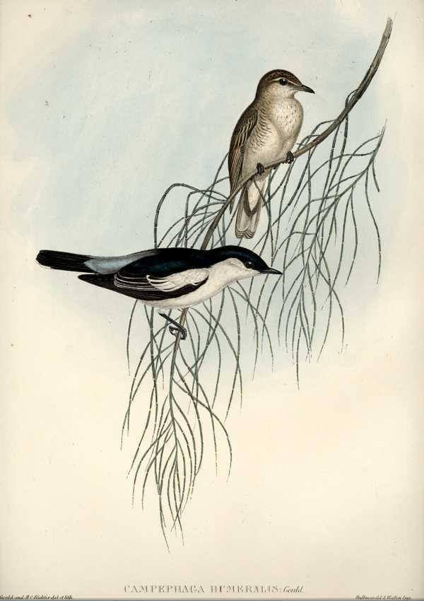 John Gould Campephaga humeralis. Birds of Australia lithograph c1840-1848